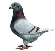 Sprzedam gołębie pocztowe LOTOWANE 25zł sztuka