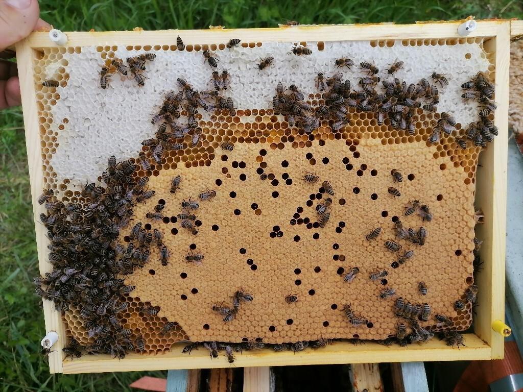 Odkłady pszczele na ramce wielkopolskiej, Krainka