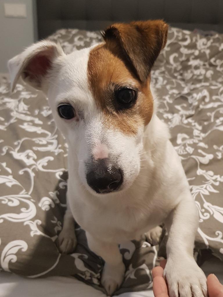 Reproduktor Krycie Jack Russell Terrier