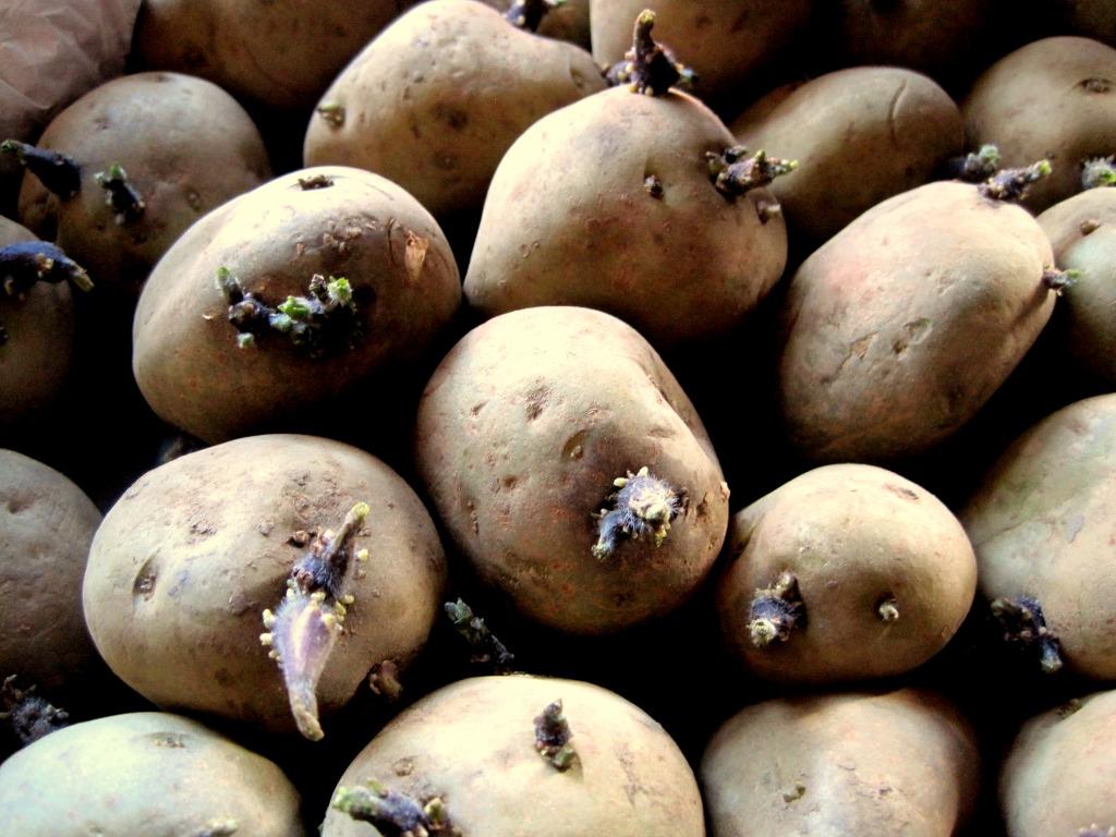Sadzeniaki Ziemniaka Cena 1 00 Zl Czarna Allegro Lokalnie