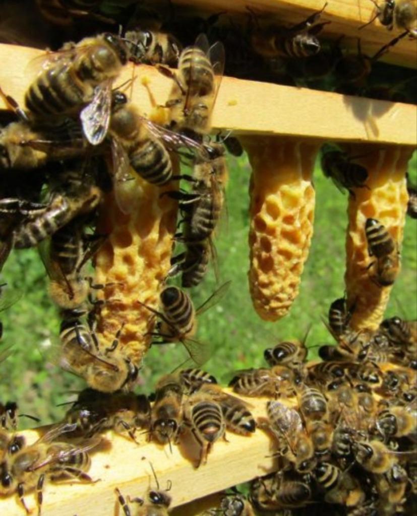 Matki Pszczele Sklenar 2021r czerwiące po repro