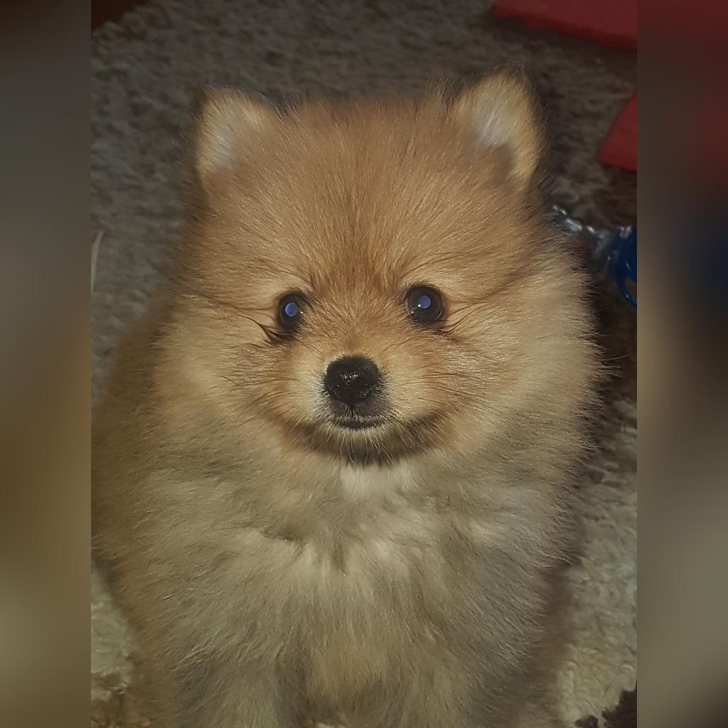 Szpic Miniaturowy Pomeranian Boo Cena 1900 00 Zl Chocianow Allegro Lokalnie
