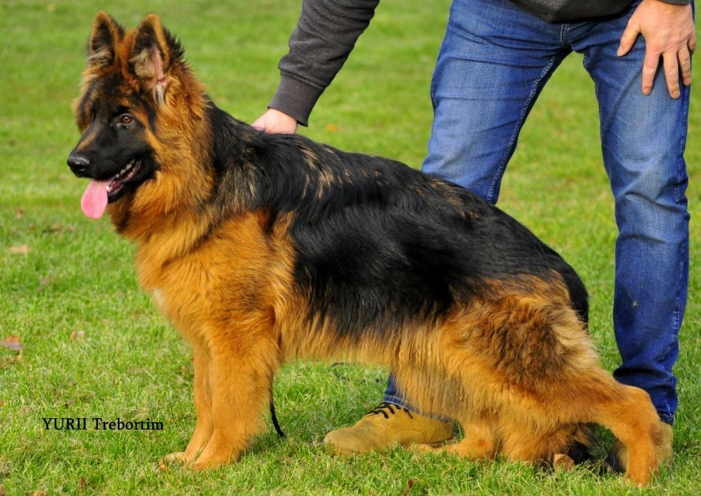 Owczarek niemiecki pies FCI