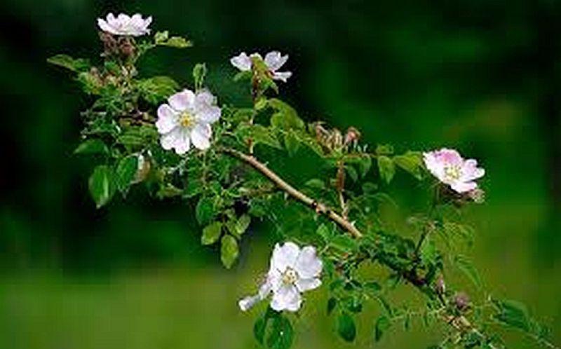 Dzika Roza Biale Kwiaty Sadzonki Kup Teraz Za 3 00 Zl Opatow Allegro Lokalnie