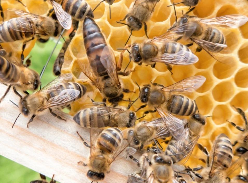 Matki Pszczele Szron 2021r czerwiące po repro