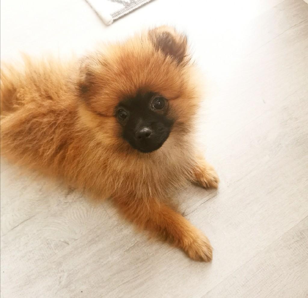 Szpic Miniaturowy Pomeranian Boo Cena 3000 00 Zl Legionowo Allegro Lokalnie