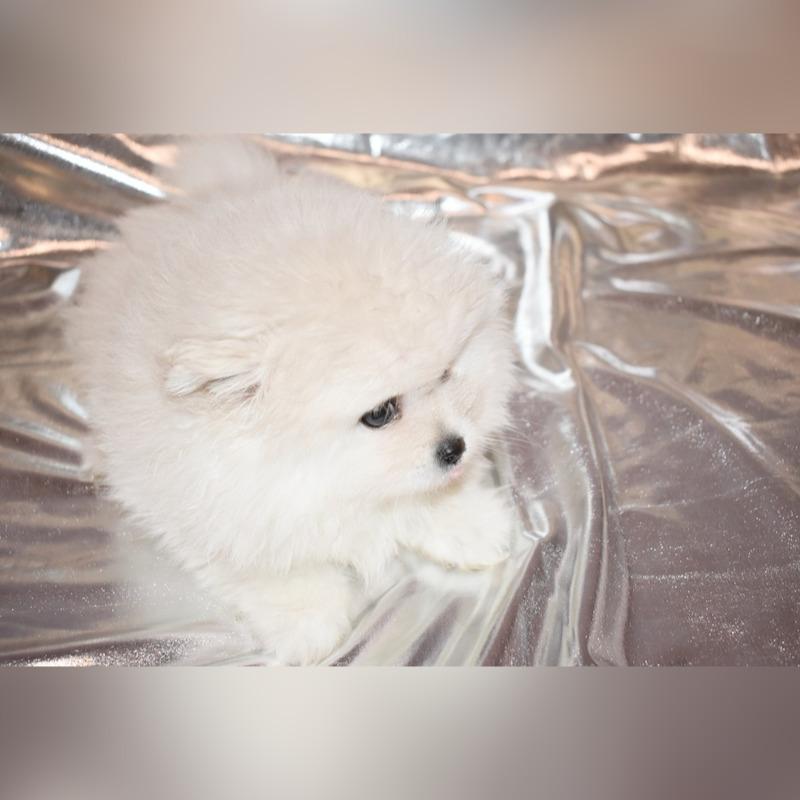 Pomeranian Pieski Boo Piesek Z Rodowodem Cena 4800 00 Zl Czestochowa Allegro Lokalnie
