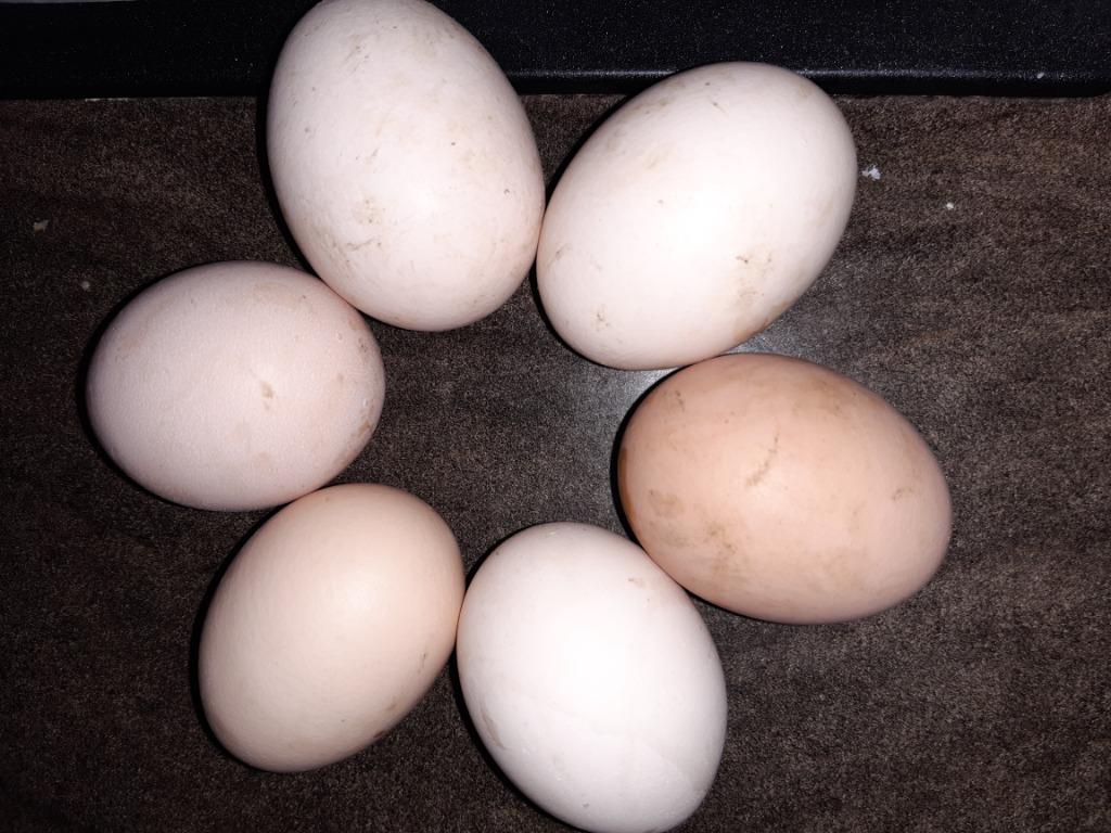 Kurze jajka ekologiczne BIO