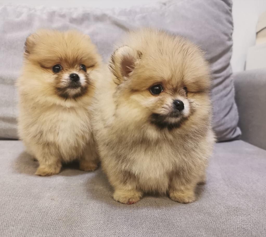 Szpic Miniaturowy Pomeranian Fci Cena 8000 00 Zl Lodz Allegro Lokalnie