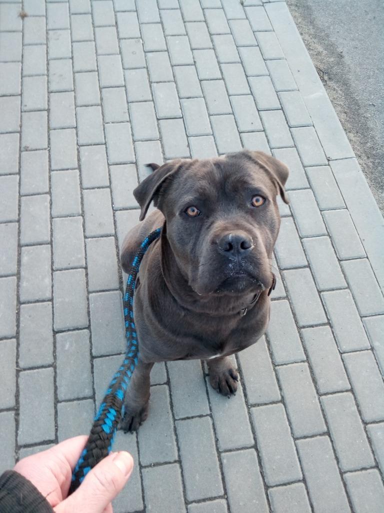 Cane Corso - młody pies w dobre ręce
