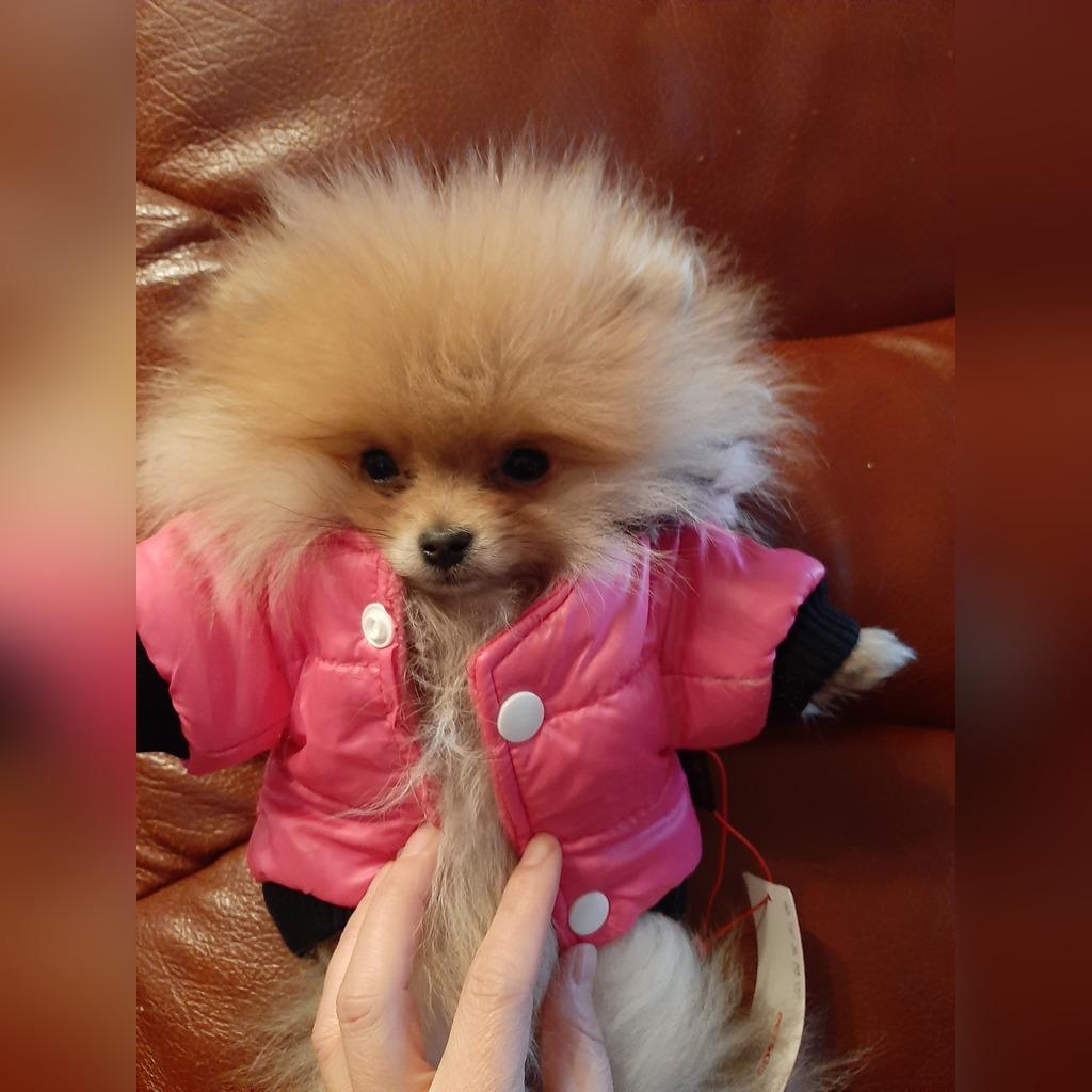 Mikro Piesek Boo Szpic Pomeranian 700 Gram Cena 6900 00 Zl Nowy Sacz Allegro Lokalnie