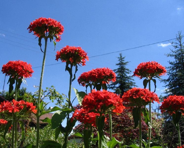 Lychnis chalcedonica/Firletka czerwona/ nasiona