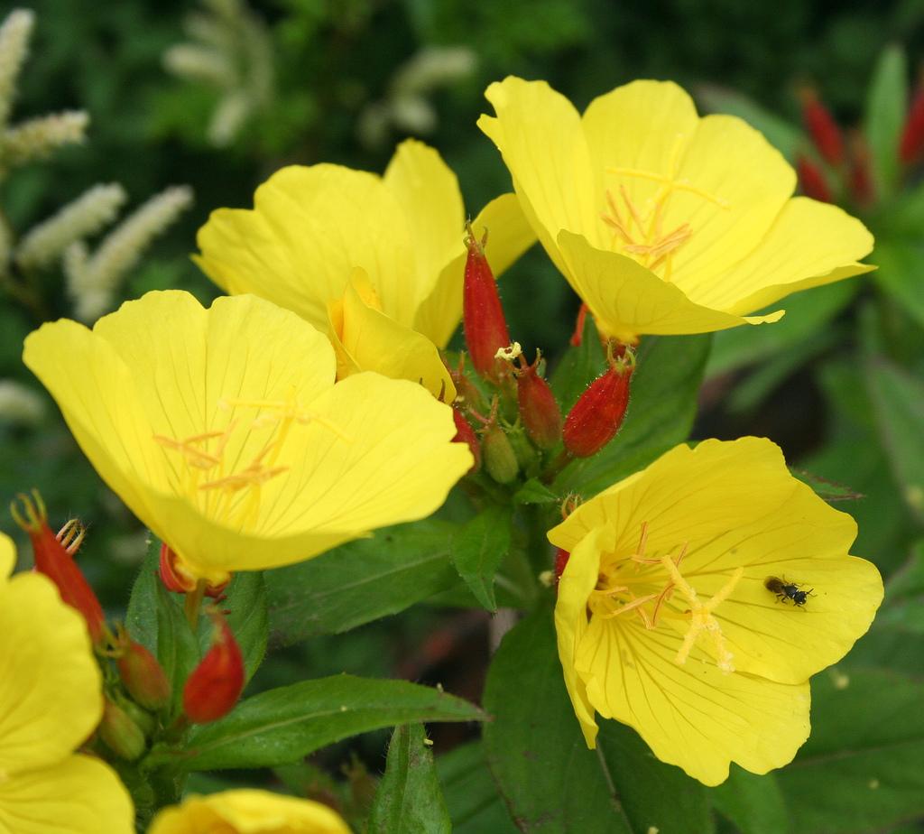 długo kwitnący WIESIOŁEK o dużych kwiatach