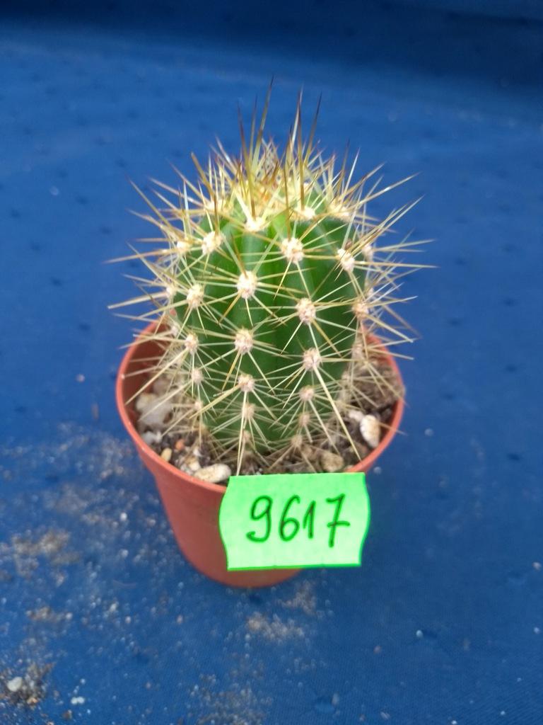 Trichocereus 9617p - PP0220P