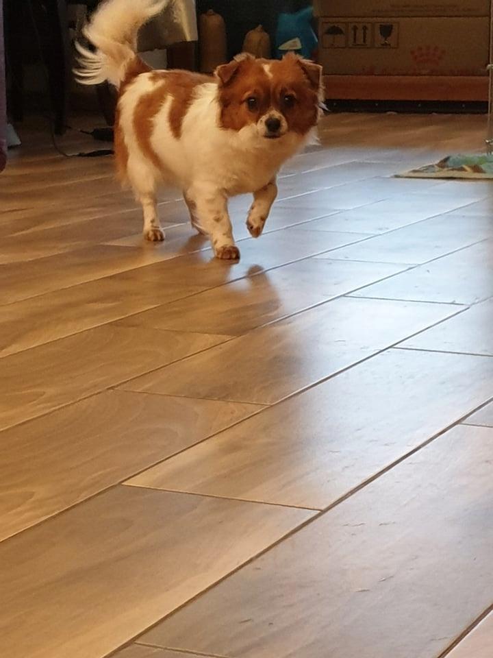 Chihuahua długowłosa suczka tricolor rodowód ZKwP