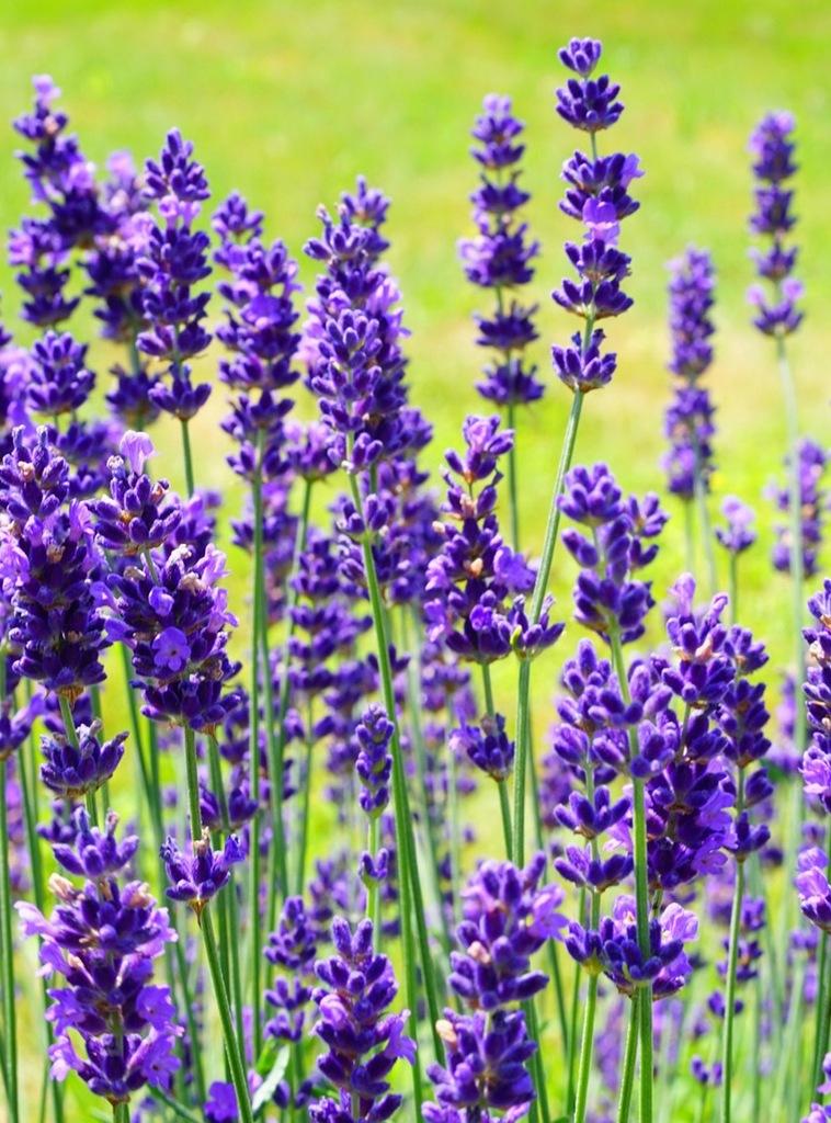 Fototapety Wymiar 100x135 Tapeta Kwiaty Lawendy 7272913156 Oficjalne Archiwum Allegro