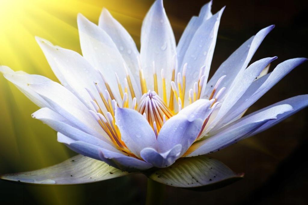 Fototapet Lotus Flower II (300 x 223 cm)