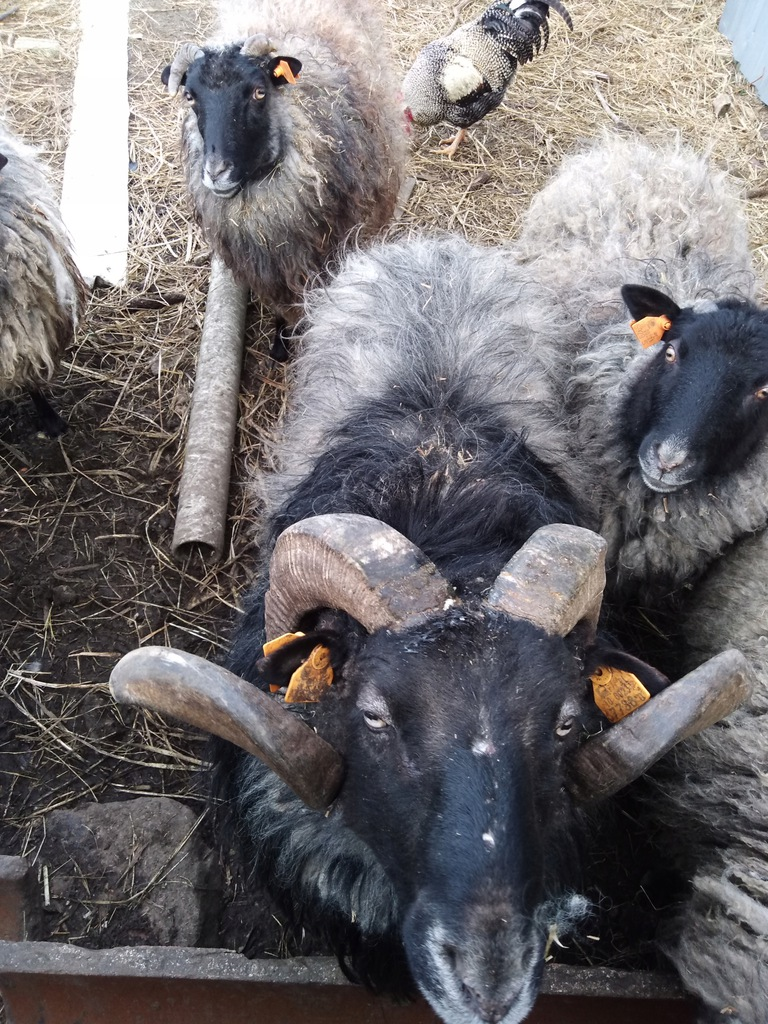 owce sprzedam