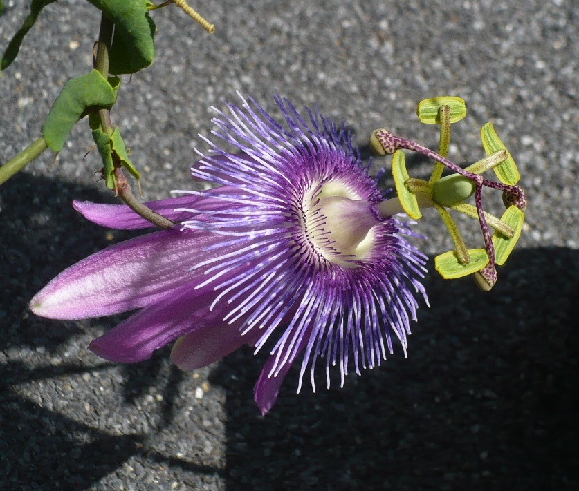 Pasiiflora incarnata ukorzeniona sadzonka