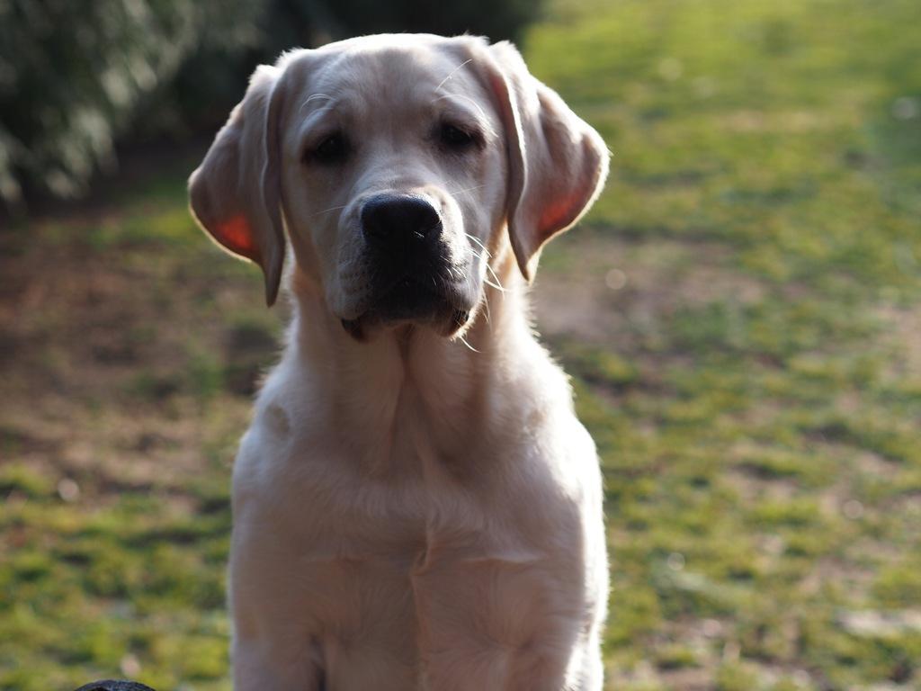 Labrador retriever biszkoptowy piesek