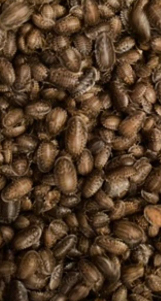 Karaczan argentyński 1-2cm 100szt