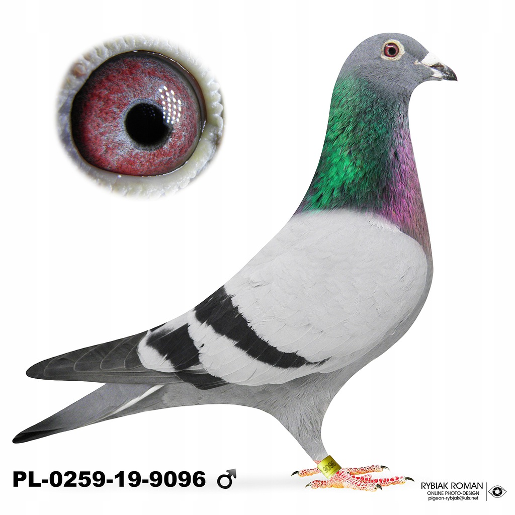 Gołębie Pocztowe Samce Oryg. Bula-Latacz z rodowód