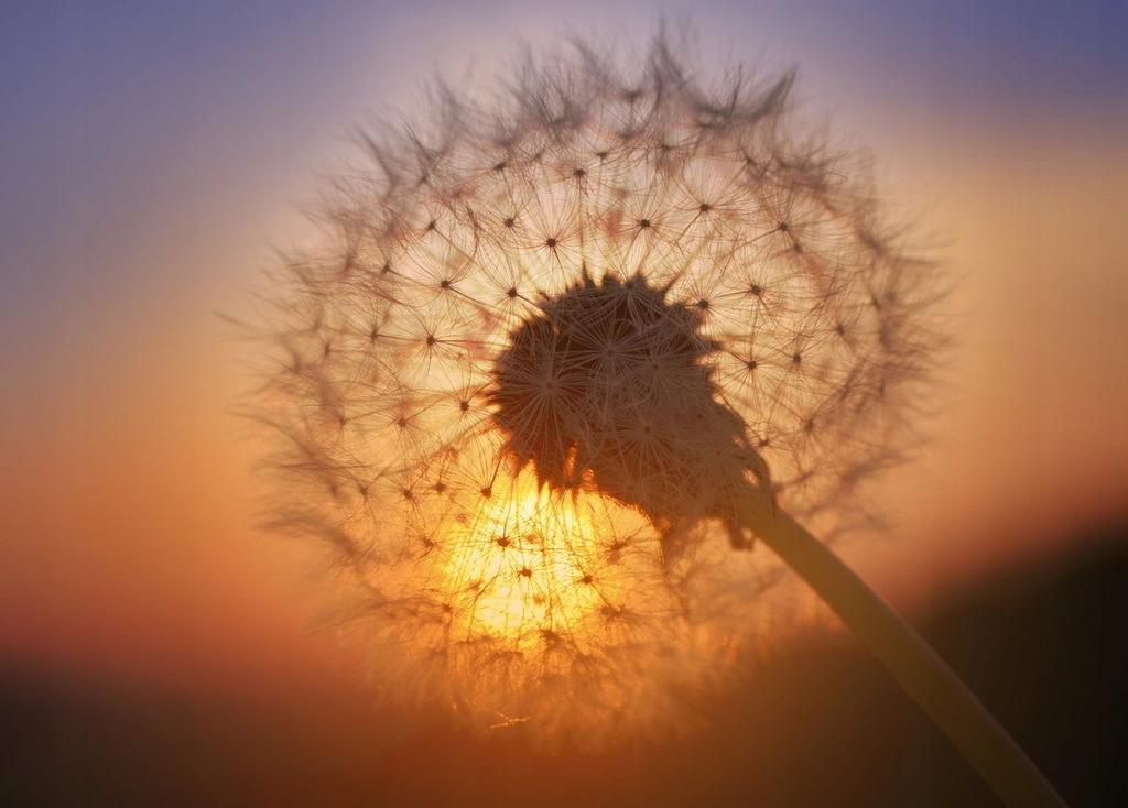 Fototapet Golden Sunset Dandelion (300 x 223 cm)