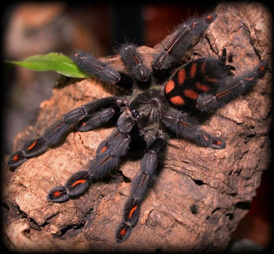 SAMICA Psalmopoeus irminia 5 cm DC!! pająk