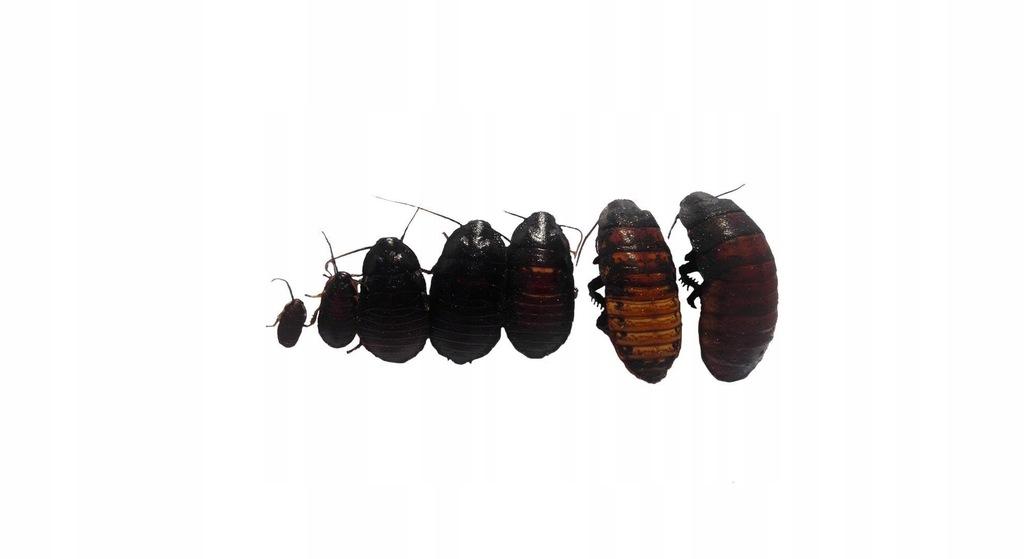 Karaczany Madagaskarskie 2-6cm 30 sztuk Mix