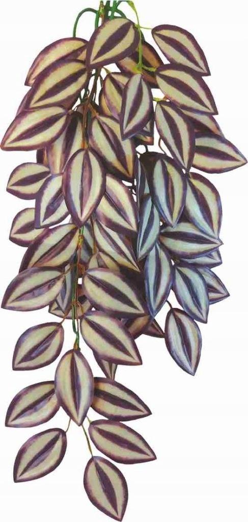 Roślina do terrarium Tradescantia Zebrina Happet