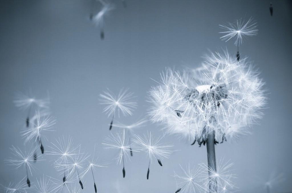 Fototapet Dandelion in the Wind I (300 x 223 cm)