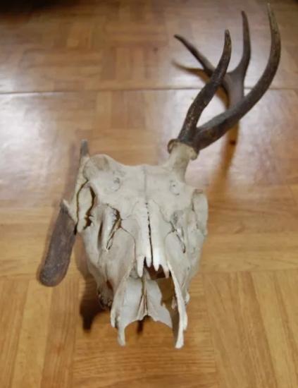 Myłkus UNIKAT poroże jelenia czaszka mylkus