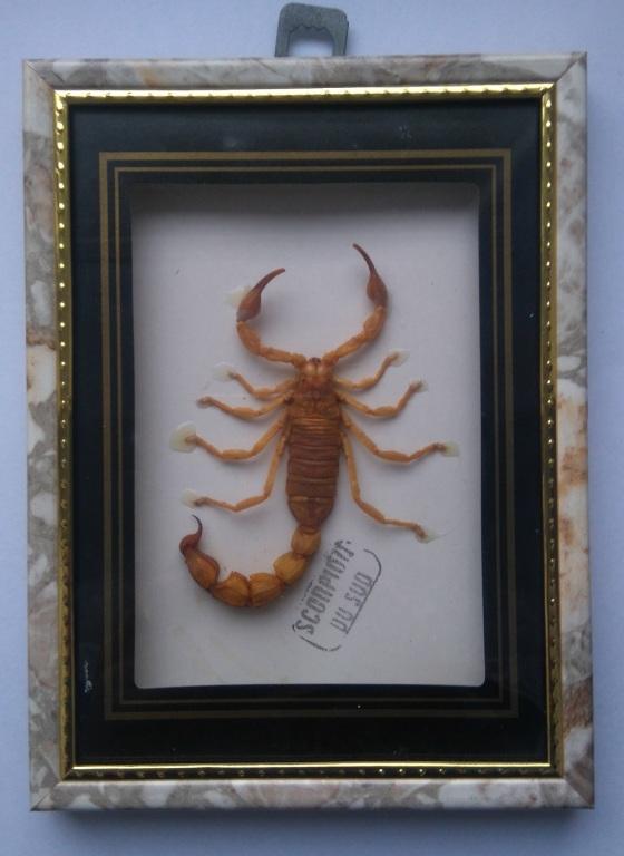 Gablota entomologiczna - Skorpion Pustynny Kosmaty