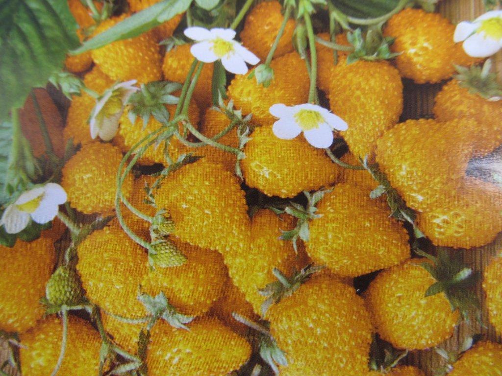 POZIOMKA ŻÓŁTA yellow wonder sadzonka