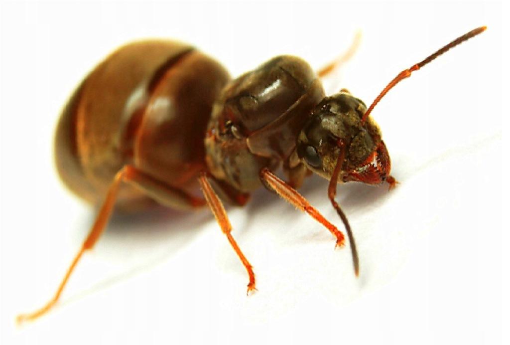 Mrówki Lasius niger - Q 2019 + 50-60 robotnic