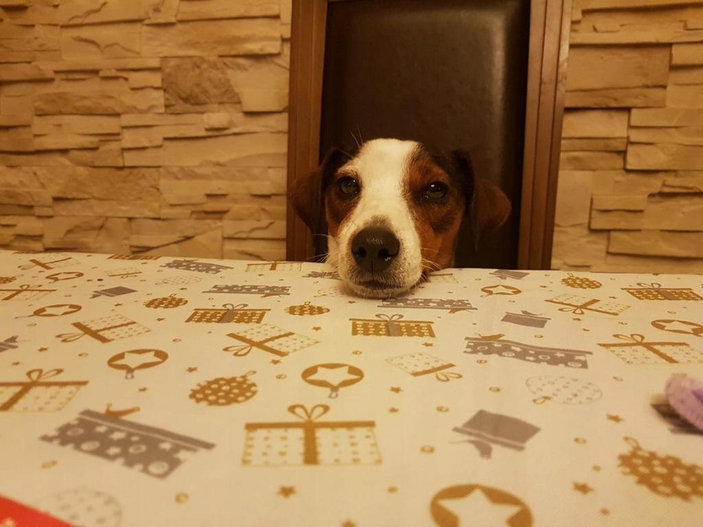 Psy szczeniaki rasy Jack Russell Terrier Za darmo