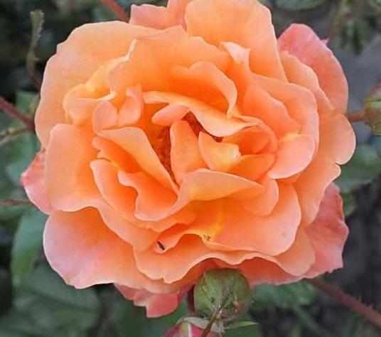 Róża pnąca - niesamowity kolor NR 127 - PROMOCJA !