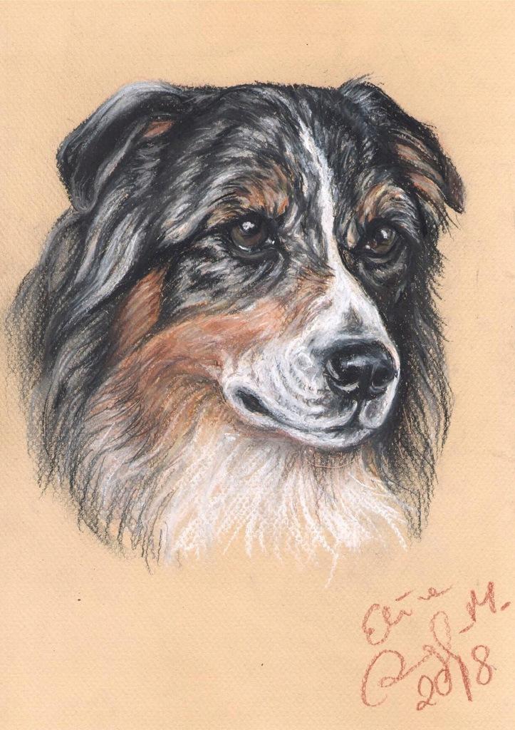 Owczarek australijski, Aussie - portret psa