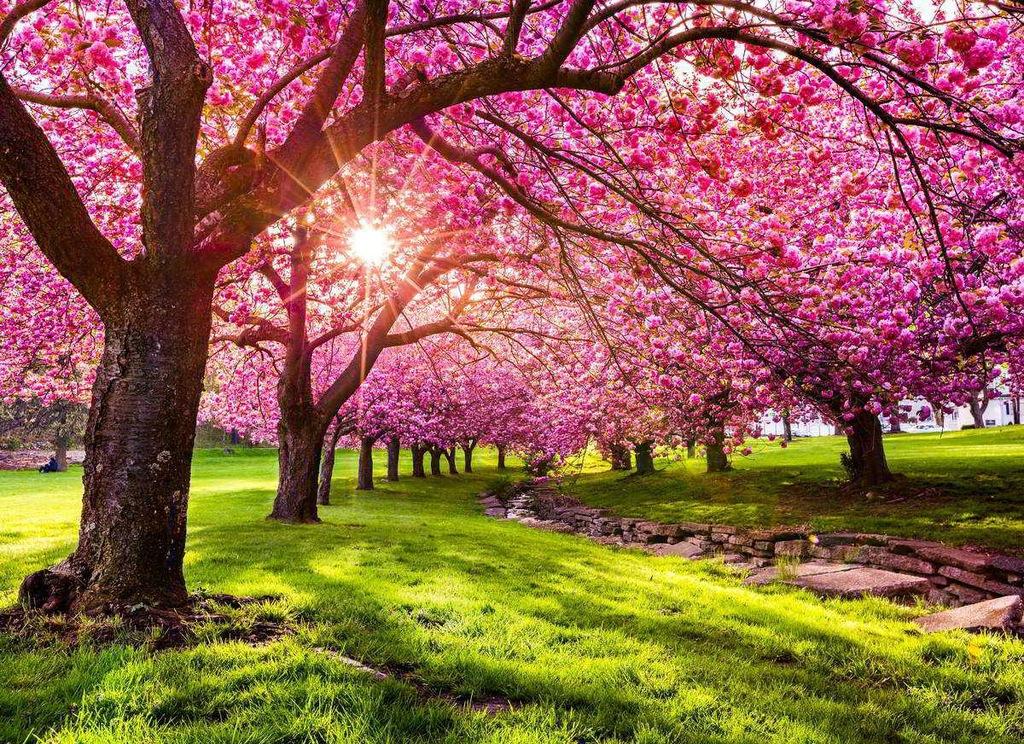 Fototapet Cherry Tree Blossom (300 x 223 cm)
