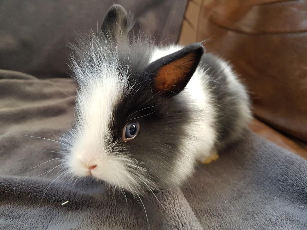 króliczek miniaturka angorek królik
