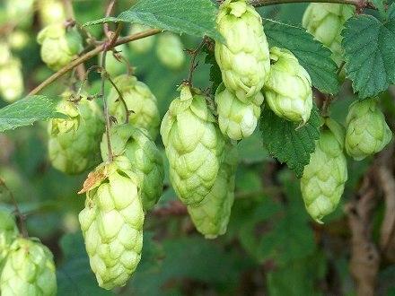 Chmiel Zwyczajny Humulus Lupulus ponad 15 nasion
