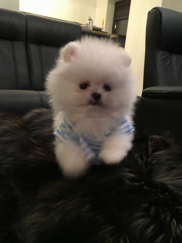 Szpic Miniaturowy Pomeranian Boo Unikat Xxs Sunia 7829077281 Oficjalne Archiwum Allegro