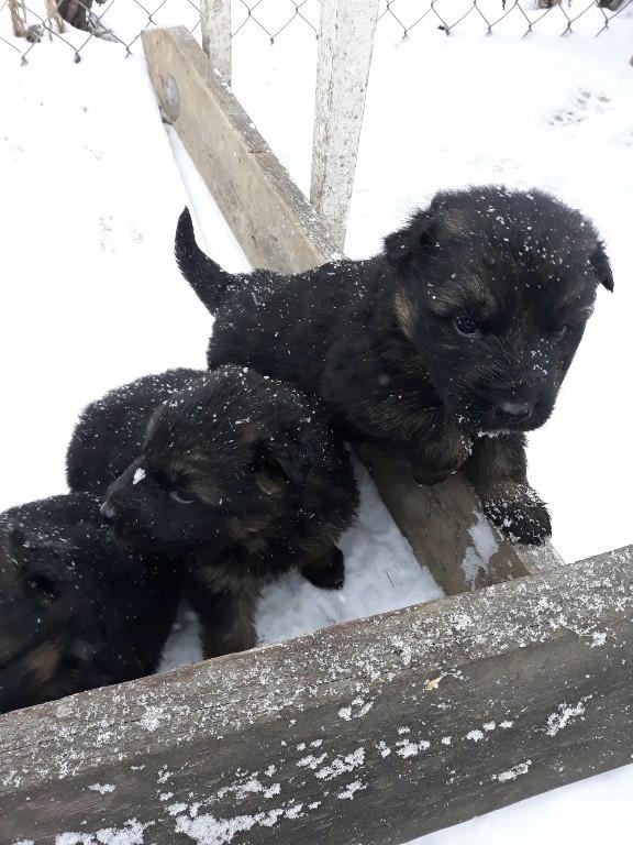 zwierzęta żywe psy owczarki