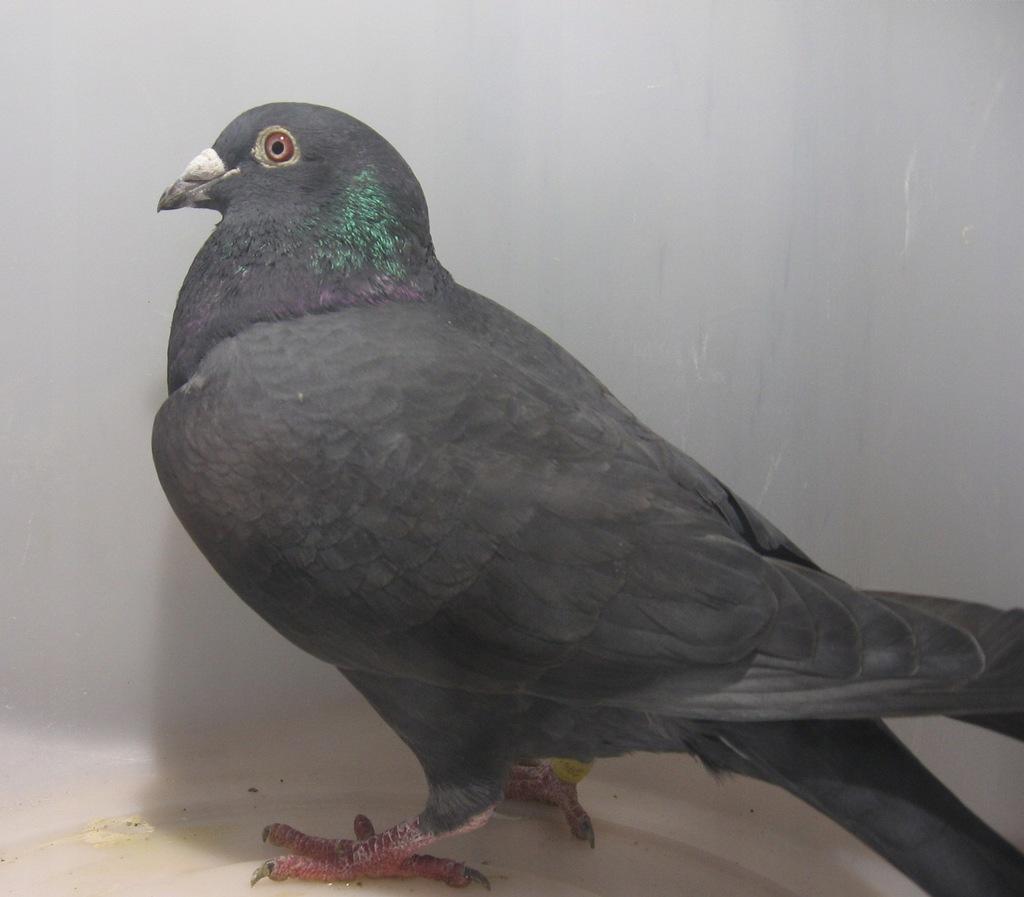 Czarny samiec po super liniach świetnych gołębi.