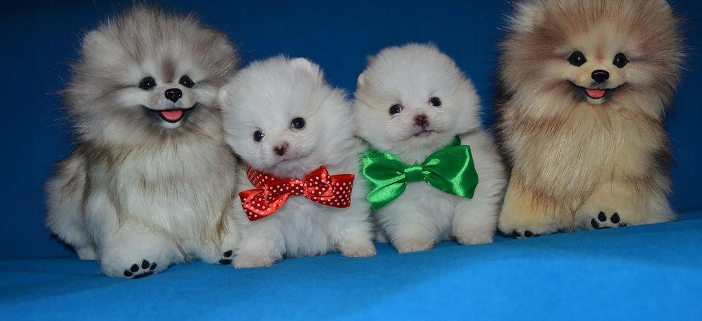 Pomeranian Szpic Miniaturowy Misie Boo Gdansk 7904443290 Oficjalne Archiwum Allegro