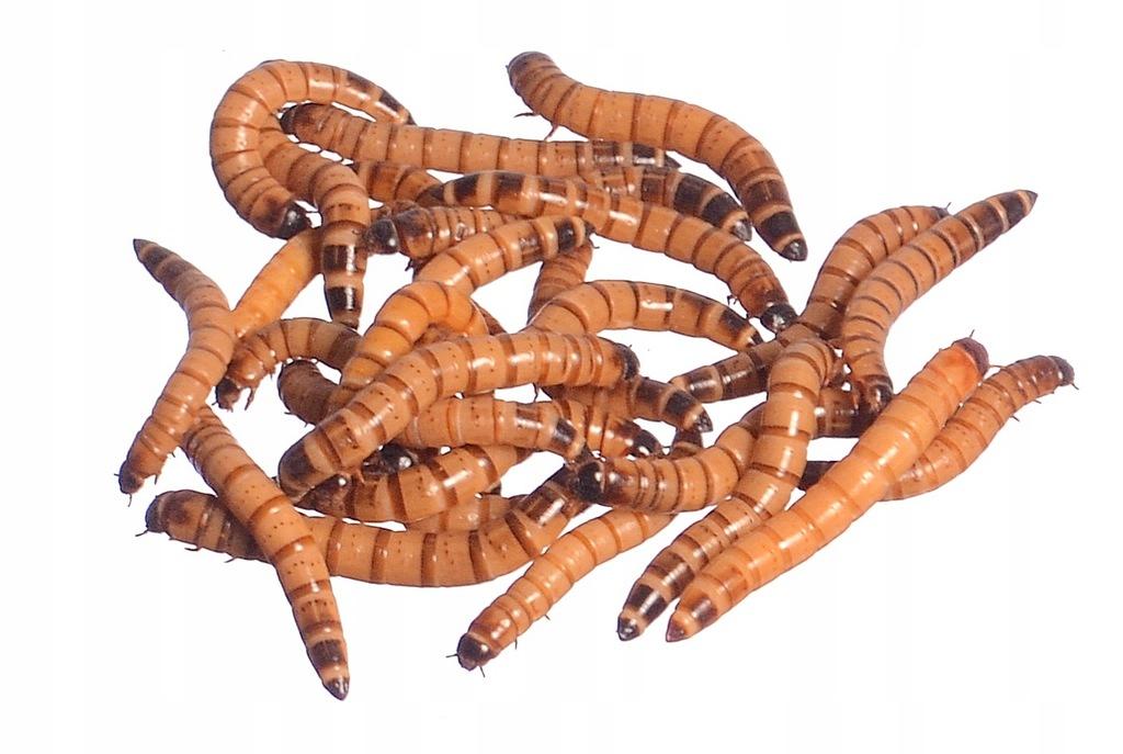 Drewnojad, drewnojady, Zophobas morio - 250 ml