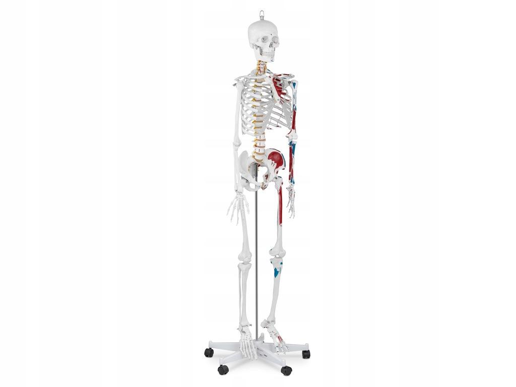 Ludzki Szkielet Model Anatomiczny Na Kolkach 180cm 7659102324 Oficjalne Archiwum Allegro