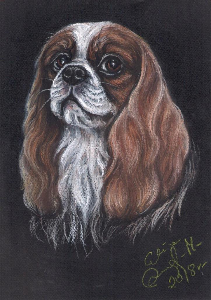 Cavalier King Charles Spaniel, kawiś - portret psa