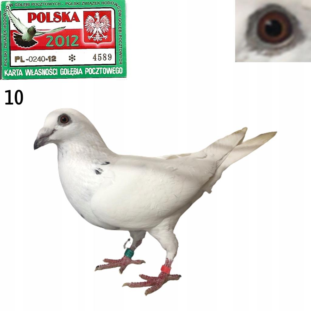 Okazja - gołębie od mistrza oddziału młodymi