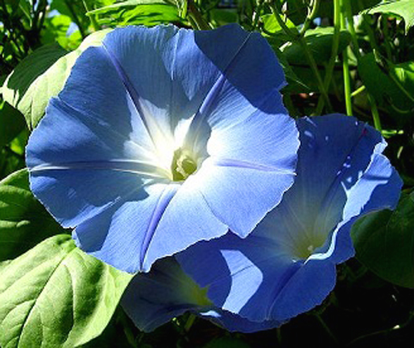 WILEC Morning Glory (Ipomoea tricolor) 1g Nasion